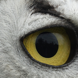 Eye of the Owl