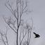 Torenvalk duikt vanaf een dode boom