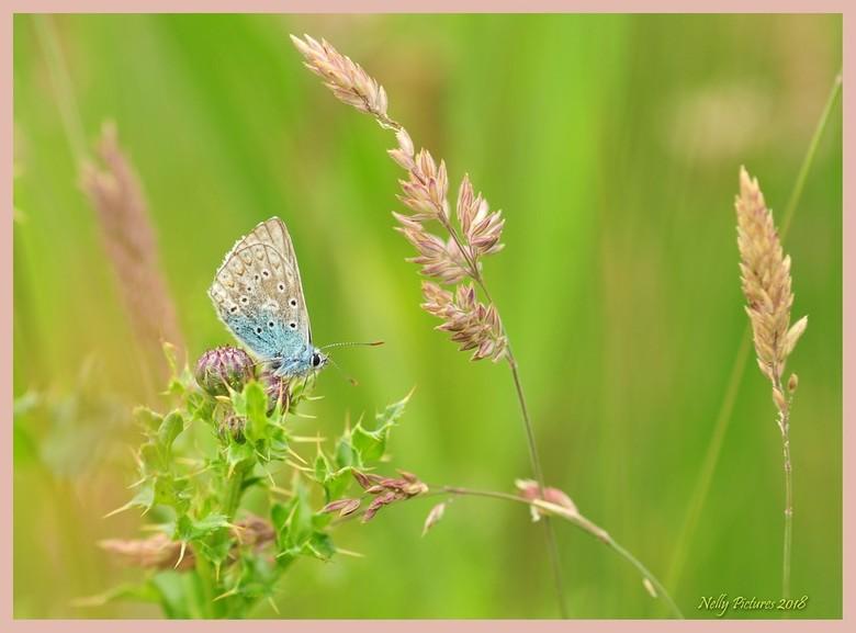 Stil zitten. Icarusvlinder - Deze vlinder zat zo stil ondanks dat <br /> het takje bewoog in de wind. <br /> Zo stil dat ik echt dacht : &quot;Leef