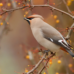 Waxwing Autumn Style