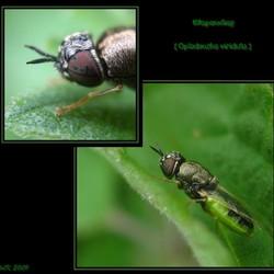 Wapenvlieg (Oplodontha viridula)