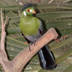 Touraco Leucotis (Witwang Toerako)