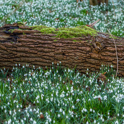 Sneeuwklokjes en mos