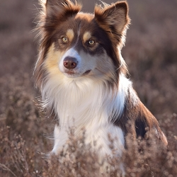 Border Collie Chino