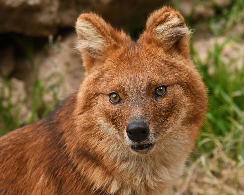 aaibaar? - Op het eerste gezicht een lieve hond. De dhole kan goed voor zichzelf zorgen. Zij jagen in groepen op herten en andere hoefdieren. Maar een