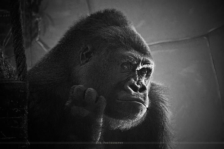 """King Kong - Deze foto heb ik genomen in Ouwehands dierenpark in Rhenen , ik vond hem er erg goed voor gaan poseren <img  src=""""/images/smileys/smile.pn"""