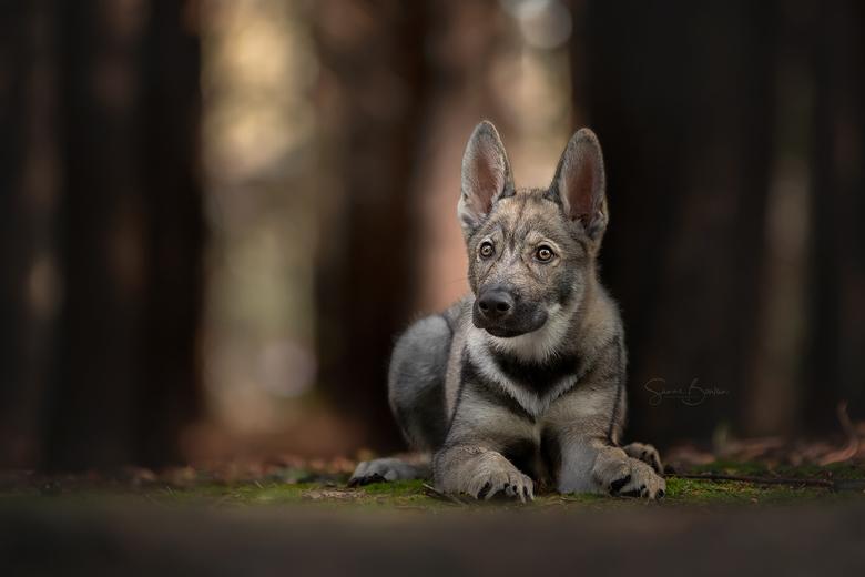 Wolfhond in het bos -
