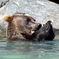 5- Beren van Wolverine Creek Alaska
