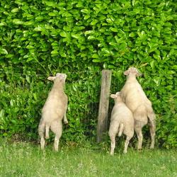 Kiezen tussen gras of de heg?