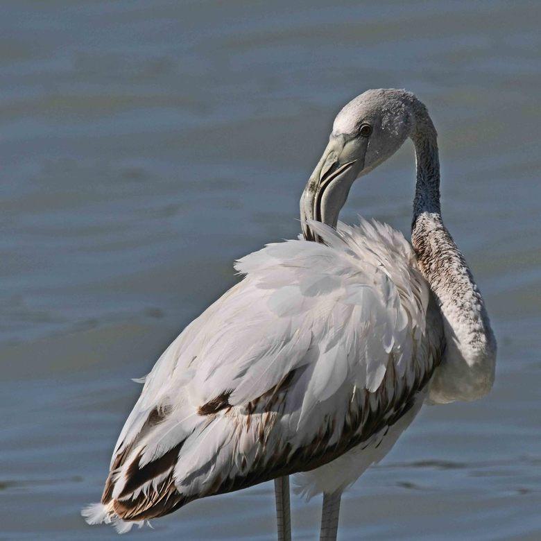 als je veren maar goed zitten - Flamingo's kunnen een jaar of 50 oud worden, en in gevangenschap zelfs nóg ouder. Deze roze flamingo (Phoenicopte