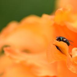 Knal-oranje