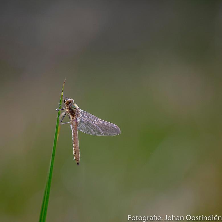 See through - Een nog bijna doorzichtige smaragdlibel, nog geen halfuur oud. Het lijf moet nog groen kleuren en in de vergroting zie je nog een lege &