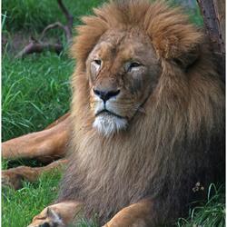 De koning der dieren ...
