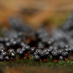 Forest Caviar