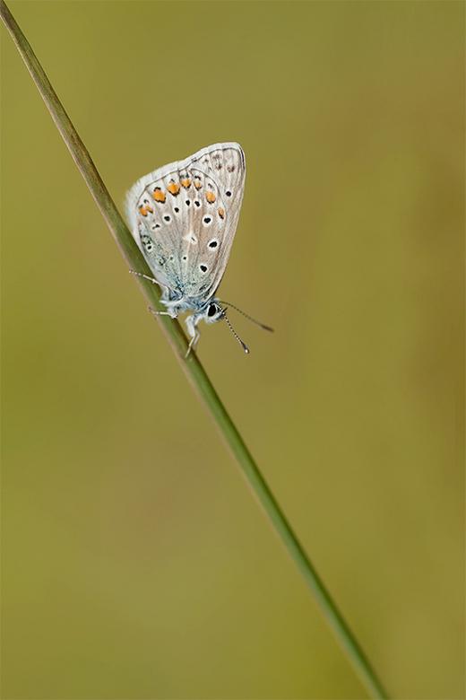 Icarusblauwtje - Een ochtend met baggere omstandigheden, maar toch tevreden met deze foto.
