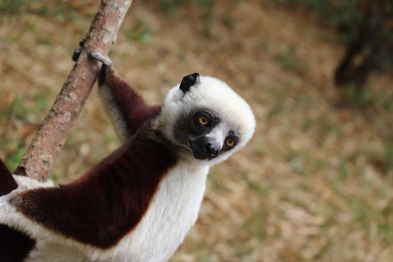 Lemur -