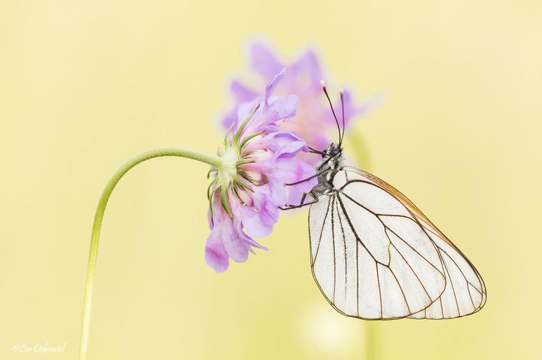 Groot geaderd witje - Dit witje zat in de volle zon en heb daarbij de vlinder met mijn hand in de schaduw gezet. Hierdoor krijg je een mooiere belicht