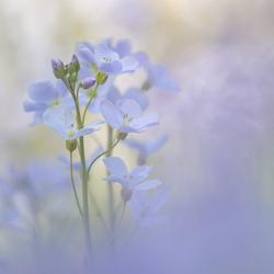 lilac softness...