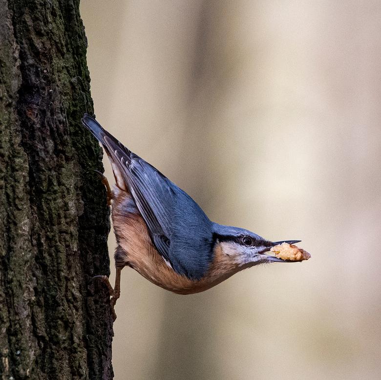 Boomklever - Mooie boomklever op zijn best, klevend aan een boom.