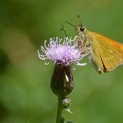 Snoepen van de nectar.
