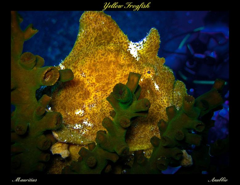 Yellow Frogfish - Deze jongen liet zich mooi fotograferen tijdens een duik in de wateren rondom Mauritius. Frog-fishes (Hengelaarsvissen) zijn meester