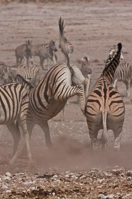 Zebra kick - Etosha National Park, Namibie