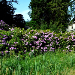 Rohdodendrons