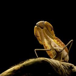 hyrodula xishaensis