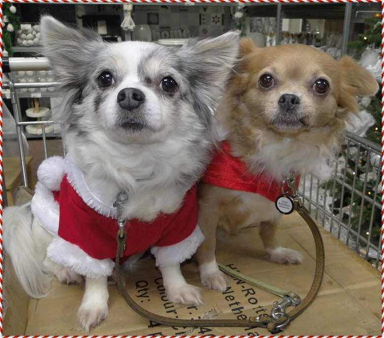 Mijn Chihuahua's Lisa &amp; Vicky in kerststijl aangekleed. - Mijn Chihuahua&#039;s Lisa &amp; haar moeder Vicky in kerststijl aangekleed, <br /> tij