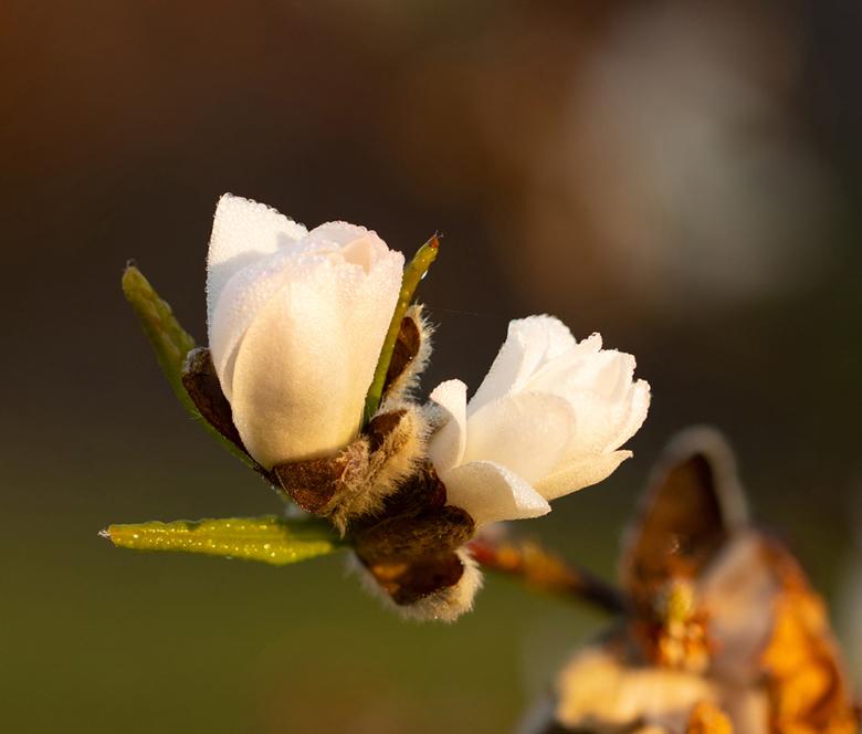 Ontluikend bloemetje met dauwdruppels - Met focus stacking opnames samengevoegd.