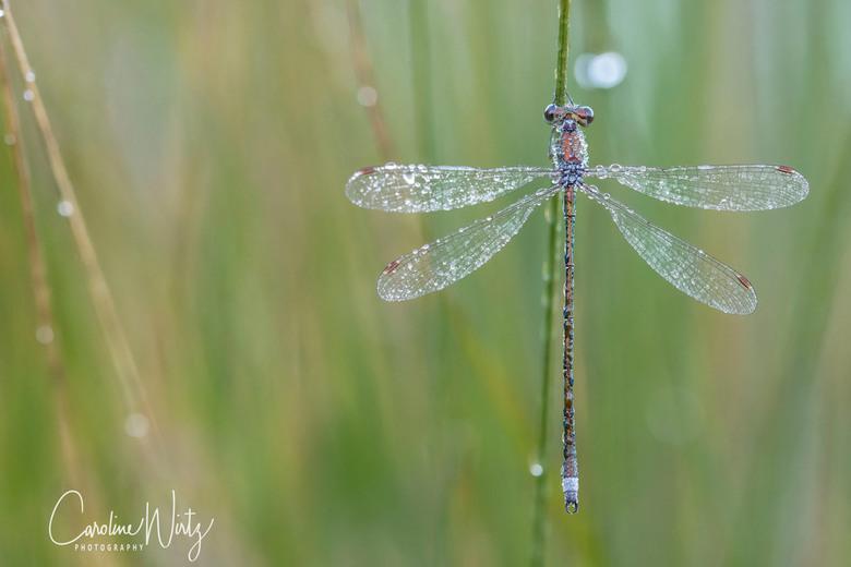 Gespreide vleugels - In prachtig licht en met mooie dauwdruppels wachtend op de zon om te drogen.