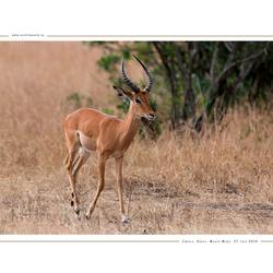 Impala, Kenia
