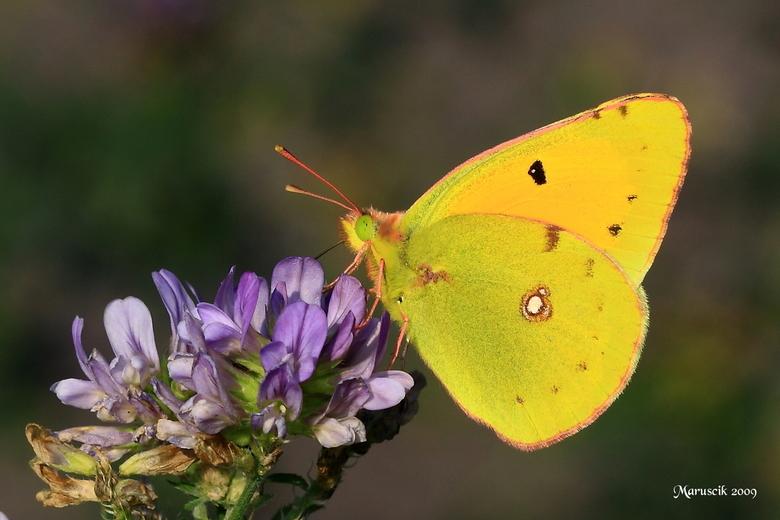 Luzern vlinder -