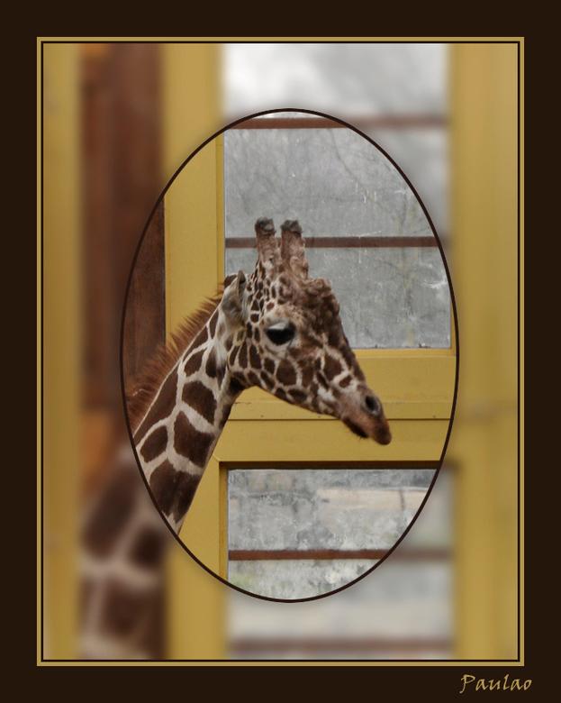 kleine giraffe - gemaakt in Blijdorp in het nieuwe giraffenverblijf.  het was die dag dat we er waren zo koud dat ze binnen stonden, waar het overigen