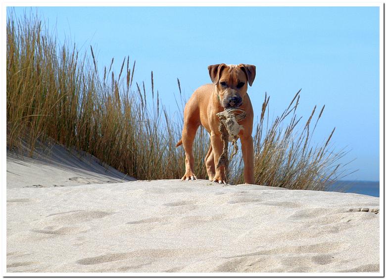 Don't touch this! It's mine! - Wat een middagje aan het strand al niet oplevert..<br /> <br /> Nog een opname van vorig jaar. Het puppy zijn is er n