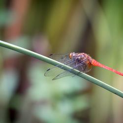 Bali Libelle Ubud
