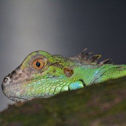 Iguana Iguana (Groene Leguaan)