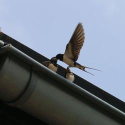 Zwaluw voert zijn jongen