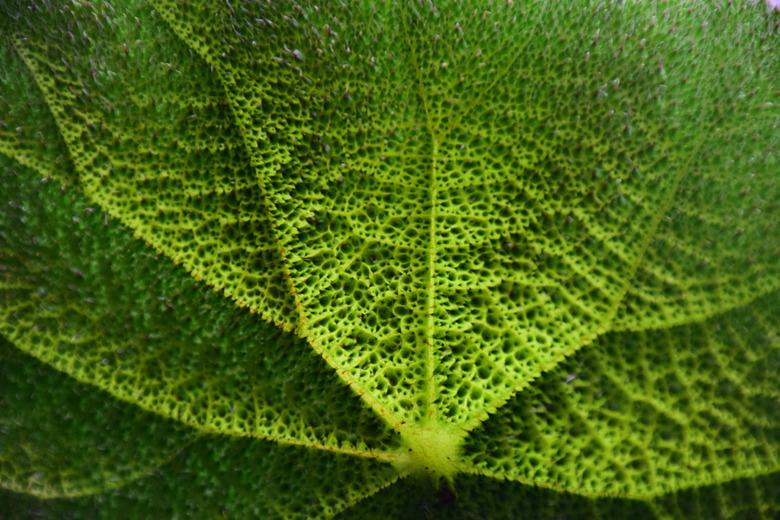 """begonia2 - nieuwe planten in huis : ook zij komen er niet onderuit om geschoten te worden <img  src=""""/images/smileys/wilt.png""""/>"""
