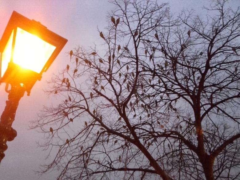 Papegaaien in Den Haag - 's Nachts koekeloeren