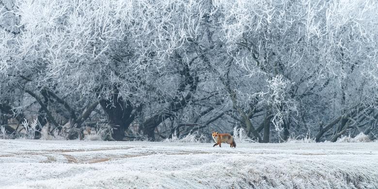 Winter Vos - Hoe mooi steekt de rode vos af tegen het witte landschap gevormd door rijp en wat lichte sneeuw in de winter. Gekozen om juist meer ruimt