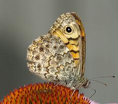 Vlinder - Op het zonnenhoedje ...