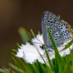 Kleine heide vlinder