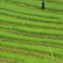 Hmong in de rijstvelden