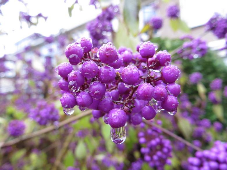 In de ochtend - Vanmorgen was het vochtig in de tuin een uitgelezen mogelijkheid om de paarse bessen te fotograferen