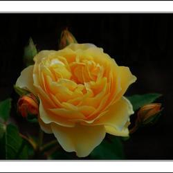 Gele schoonheid