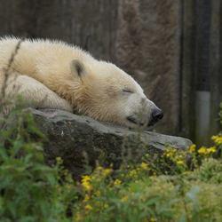 Sweet dreams little polar bear