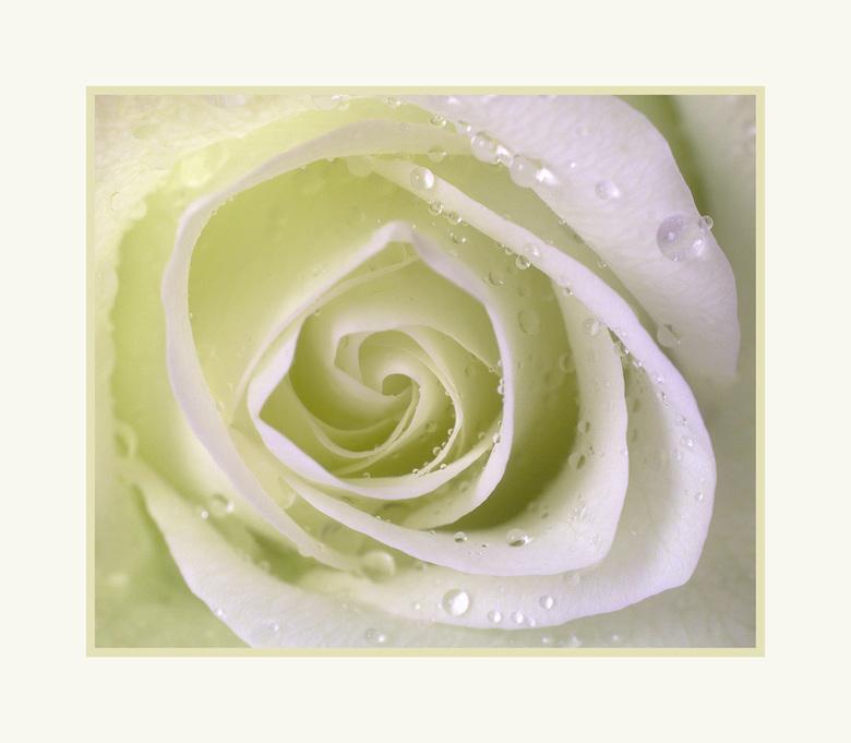 Witte roos - Dit keer een witte roos. Bij deze vond ik een vierkante uitsnede mooier.<br />   <br /> Bedankt voor jullie leuke reacties op de vorige