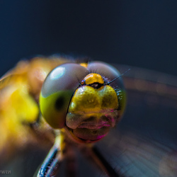 Just a Dragonfly his/her eyes