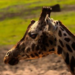 Giraffenportret